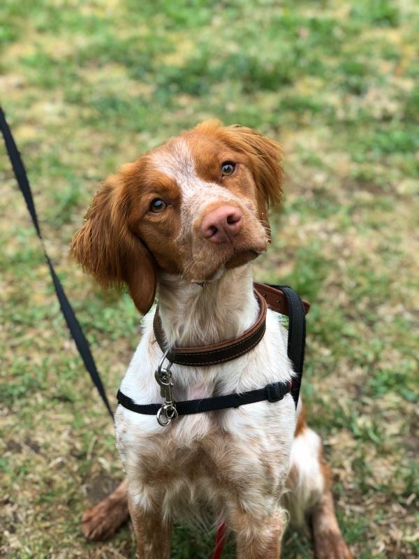 educateur-canin-jade-gimenez-saint-andre-evreux-eure-27-correcteure-canin-chien-epagneuil-repos-chasse